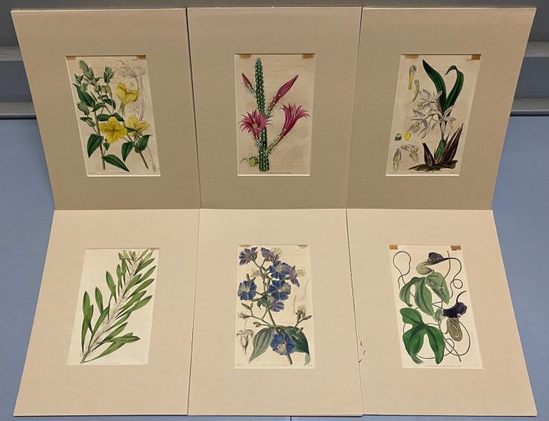 SIX original hand-colored flower prints from Curtis's Botanical Magazine 1840 - each one matted and with accompanying letterpress texts. Samuel Curtis.
